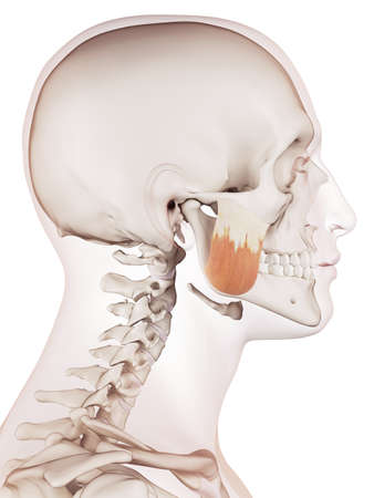medically accurate muscle illustration of the masseter superior