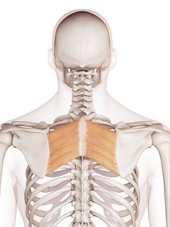菱形の主要な医学的に正確な筋肉図