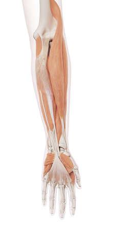 Médicalement précis illustration musculaire des muscles des bras inférieurs Banque d'images - 43308092