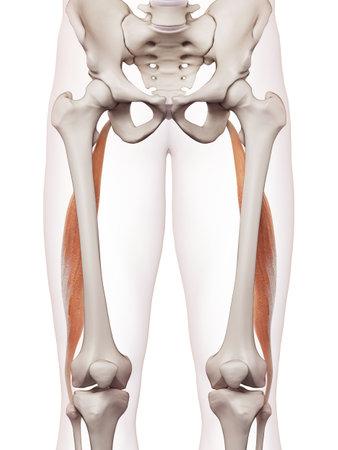 Medizinisch genaue Muskel Darstellung des Bizeps femoris longus Standard-Bild - 43308041