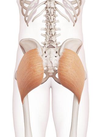 대둔근의 의학적으로 정확한 근육의 그림