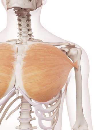 medically accurate muscle illustration of the pectoralis major