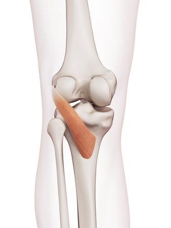 popliteus의 의학적으로 정확한 근육의 그림