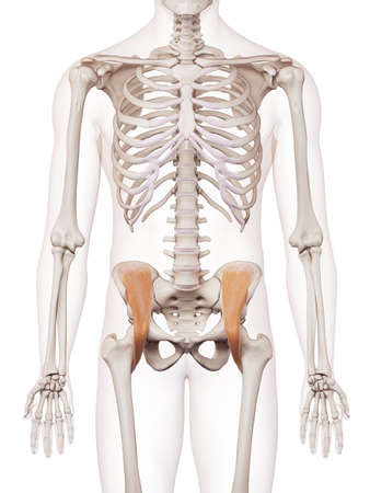 medically accurate muscle illustration of the iliacus