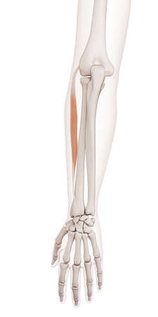medically accurate muscle illustration of the extensor carpi radialis brevis