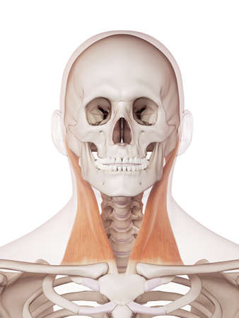 Ilustración Muscular Médicamente Exacta Del Esternocleidomastoideo ...