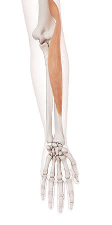 medisch nauwkeurige spier illustratie van de brachioradialis