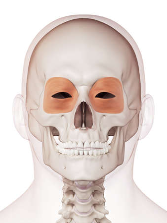 medically accurate muscle illustration of the orbicularis oculi Stock Photo