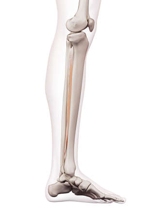 medically accurate muscle illustration of the tibialis posterior