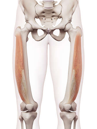 medically accurate muscle illustration of the vastus lateralis Stock Photo