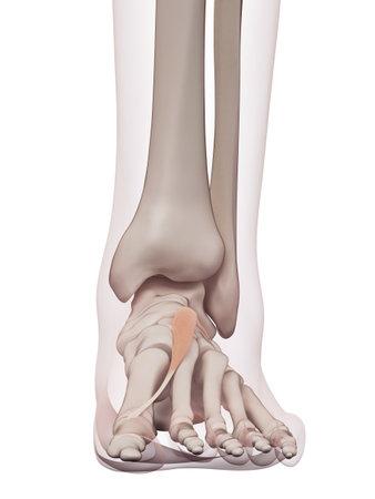 短母趾の医学的に正確な筋肉図