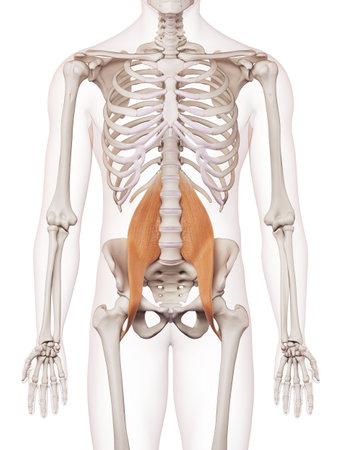 큰 허리 전공 의학적으로 정확한 근육의 그림 스톡 콘텐츠