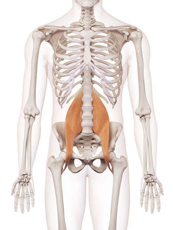 medically accurate muscle illustration of the psoas major Foto de archivo
