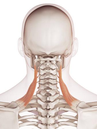 눈꺼풀 올림 근 scapularis의 의학적으로 정확한 근육의 그림 스톡 콘텐츠