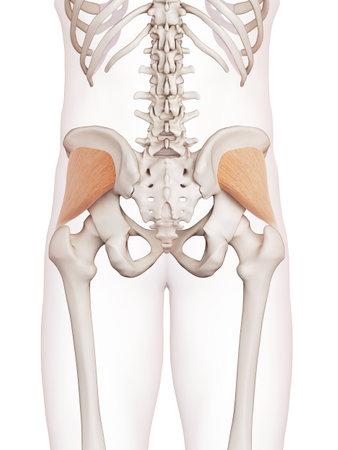 臀の医学的に正確な筋肉図