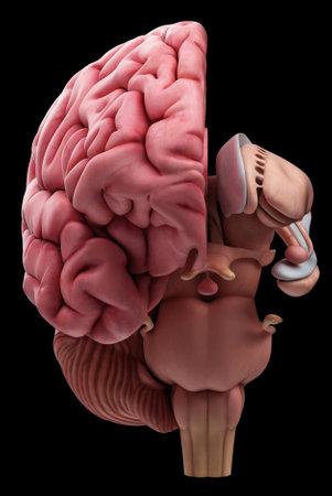 Illustrazione medico accurato dell'anatomia del cervello Archivio Fotografico - 43656488