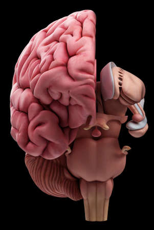 medically accurate illustration of the brain anatomy Imagens - 43656488