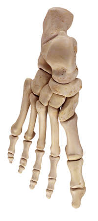 medically accurate illustration of the foot bones Stock Photo