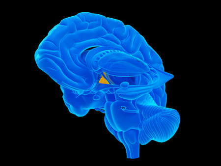 medically accurate illustration of the hypothalamus Stock Photo