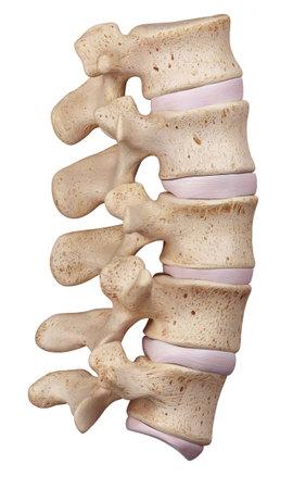 腰椎の医学的に正確な図 写真素材