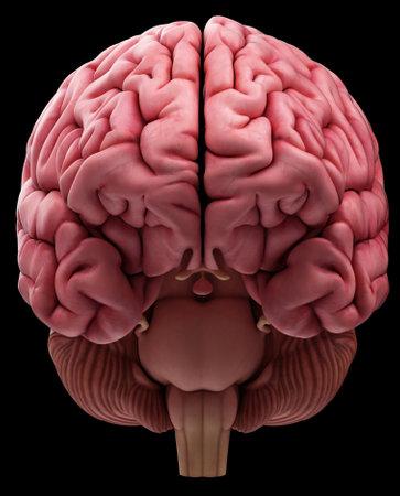 脳の医学的に正確な図 写真素材
