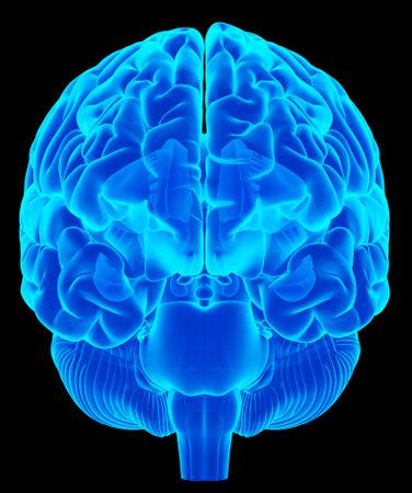 Ilustración médica precisa del cerebro humano Foto de archivo - 43656669