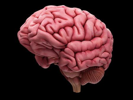 medisch nauwkeurige illustratie van de hersenen
