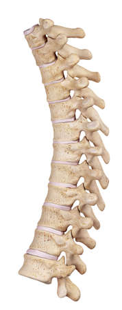 medically accurate illustration of the thoracic spine Stock Photo