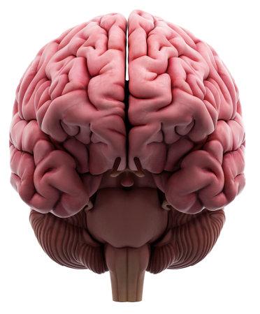 Illustrazione medico accurato del cervello Archivio Fotografico - 43656760