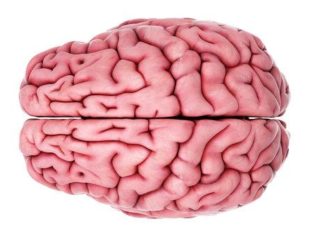 Illustrazione medico accurato del cervello Archivio Fotografico - 43656791