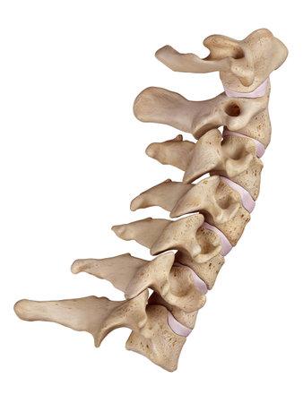 頚椎の医学的に正確な図 写真素材