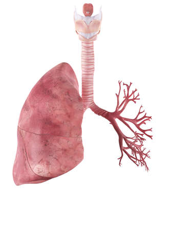 medically accurate illustration of the lung Banque d'images