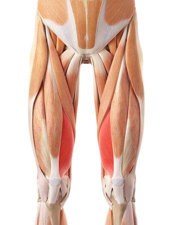 内側広筋の医学的に正確な図 写真素材