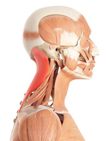 medically accurate illustration of the splenius capitis Stock Illustration - 44207508