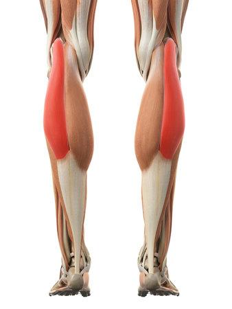 비복근 측두엽의 의학적으로 정확한 그림