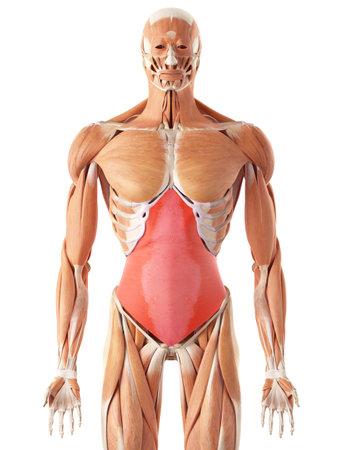 transversus의 abdominis의 의학적으로 정확한 그림
