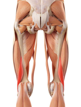 短い大腿二頭筋の医学的に正確な図