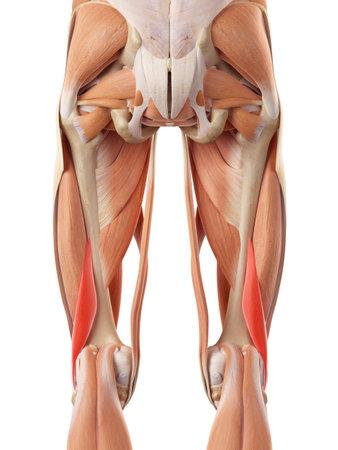 medisch nauwkeurige illustratie van de korte biceps femoris