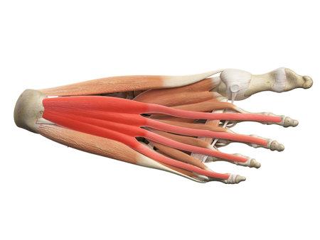 短趾屈筋の医学的に正確な図 写真素材