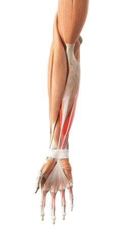 浅指屈筋腱の医学的に正確な図 写真素材