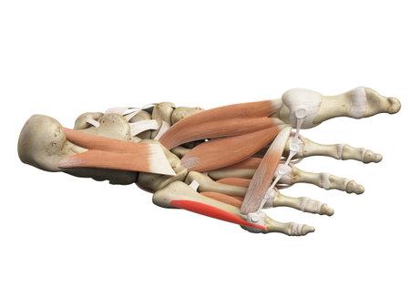 屈筋指先小指ブレビスの医学的に正確な図 写真素材