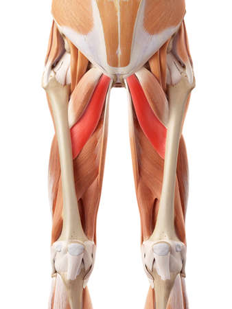 medically accurate illustration of the adductor brevis Reklamní fotografie - 44207581