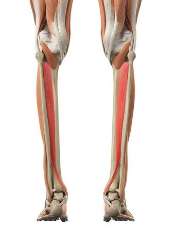 medisch nauwkeurige illustratie van de tibialis posterior