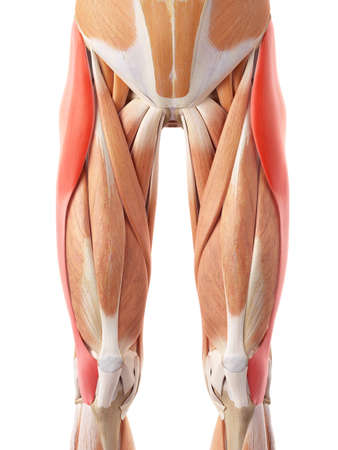 medically accurate illustration of the tensor fascia lata Stock Photo