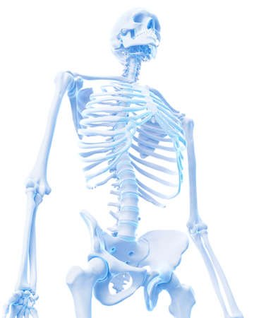 medically accurate illustration of the thorax Stock Photo