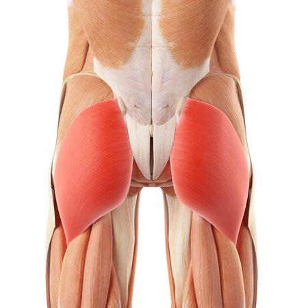 대둔근의 의학적으로 정확한 그림 스톡 콘텐츠
