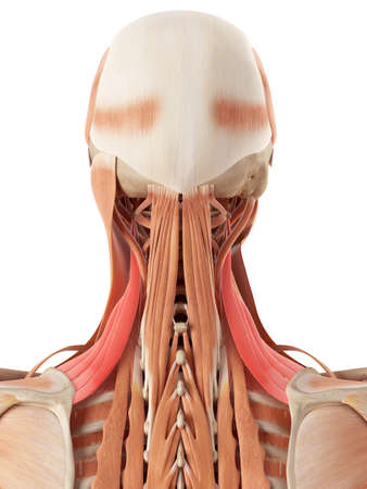 medically accurate illustration of the levator scapularis Stock Photo
