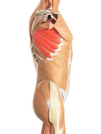medisch nauwkeurige illustratie van de serratus anterior