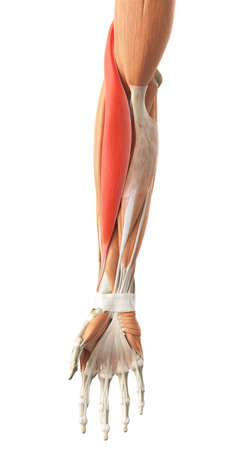 medically accurate illustration of the brachioradialis