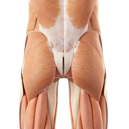 medisch nauwkeurige illustratie van de bilspieren